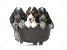 litter of puppies - three english cocker spaniel puppies in a black kettle isolated on white background - 7 weeks old Stock Photo