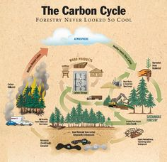 The Carbon Cycle Diagram and an article about the environmental benefits of bamboo Earth And Space Science, Life Science, Carbon Sink, Ap Environmental Science, Carbon Sequestration, Education Positive, Higher Education, Carbon Cycle, Sustainable Forestry