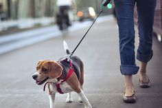 As a vet, I'm often asked about dogs who have started lunging at other dogs (or humans) while out on their walks. Here are some tips to manage the behaviour.