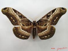 ??COM?? (Dactyloceras lucina) 17 cm Africa