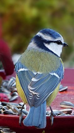 A blue tit. A selection of bird photos Pretty Birds, Beautiful Birds, Animals Beautiful, Cute Animals, Amazing Animal Pictures, Bird Pictures, Small Birds, Colorful Birds, Parus Major