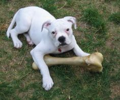 American Bulldog Pictures And Information American Bulldogs Pictures Dogs