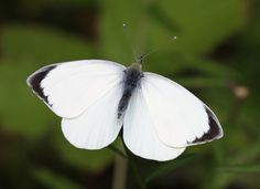 Male, large white