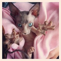 Sphynx- this cat could star in a movie like gremlins- little scary things. #SphynxCat