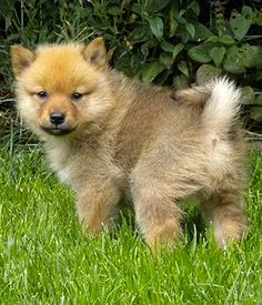 Finnish Spitz. Found my next dog. Great family dog.