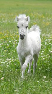 Miniature horse filly (via Modello Horse Farm)