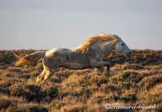 Wild Mustang On The Run...  Tamarra Gooch...    http://www.facebook.com/cowboymagic