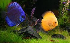 Discus fresh water fish