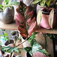 Image may contain: plant and flower Garden Plants, Indoor Plants, Philodendron Monstera, Lee Garden, Pink Plant, Plants Are Friends, Variegated Plants, Barbie Dream House, Pink Marble