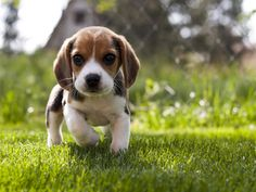 Kittens And Puppies, Cute Dogs And Puppies, Cute Baby Dogs, Cute Baby Animals, Cute Animal Pictures, Puppy Pictures, Cute Beagles, Beagle Puppy, Funny Animal Videos