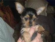 chorkie puppies - Bing Images- i have one of these puppies what a darling dog