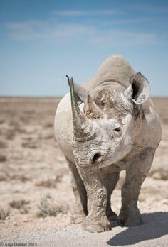 Getting up close and personal with a rhino ©Anja Denker - African Animals, African Elephant, African Safari, Animals And Pets, Baby Animals, Cute Animals, Wild Animals, Exotic Animals, Amazing Animals