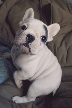 Nina de Áries: Pc Siqueira e Lola, French Bulldog Puppy