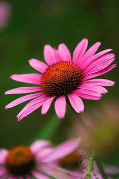 Echinacea purpurea. I know I planted these but can't identify the leaves without the flowers, where do all the plant labels go?