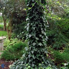 Hedera hibernica Hestor (Irish Ivy). Evergreen creeper. Hardy to zone 5.
