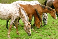 Dreamer Horse Farm. The Nez Perce horse breeding program seeks to re-establish the horse culture of the Nez Perce, a tradition of selective breeding of Appaloosa horses and horsemanship that was destroyed in the 19th century.