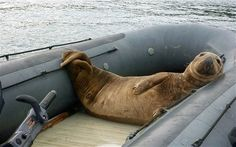 A giant bull seal climbed into the inflatable dinghy and refused to budge for four days.