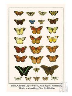 Blues, Calypso Caper Whites, Plain Tigers, Monarchs, Mimic or Danaid Eggflies, Caddis Flies Reproduction artistiques