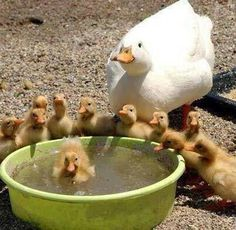 """* * """" Swimmin' lessons beez goin' good, but dis water be filthy.....I iz gonna takes em down to de small pond."""""""