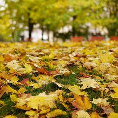 SyksyFall #syksy #syksynlehdet #keltainen #ruska #syyspäivä #puisto #visithelsinki #nelkytplusblogit #fall #autumn #autumnleaves #autumntones #yellowleaves #yellow #park #helsinki #turningleaves #fallfoliage #foliage