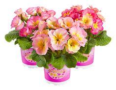 Rosen-Primel 'Girl's Delight Pink Shades®'