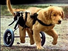 Awwww i love golden retrievers:) i think its that Love My Dog, Puppy Love, Pet Dogs, Dogs And Puppies, Dog Cat, Doggies, Schnauzers, Golden Retrievers, Pugs