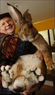Herman the German Giant Rabbit
