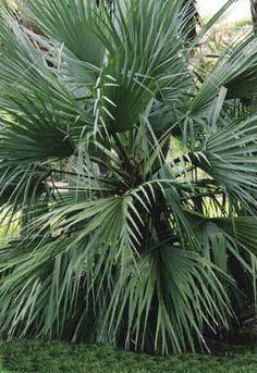 Nannorrhops ritchiana palm.