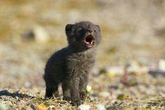 Newborn Wolf's First Howl