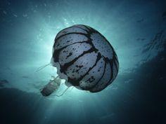 Purple Stripe Jellyfish, Pelagia Colorata, Pacific Grove, California