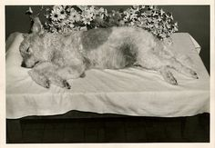 Victorian Post Mortem Photos | Victorian Post Mortem- dog