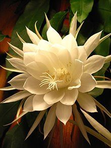 One night only - Night Blooming Cereus. night-blooming cereus (I first witnessed these in awesome wonder as an child in Kona, Hawaii) In the Victorian age, people would have late night celebrations to greet these flowers as they opened! Unusual Flowers, Rare Flowers, Amazing Flowers, White Flowers, Beautiful Flowers, Yellow Roses, Purple Flowers, Pink Roses, Night Blooming Flowers