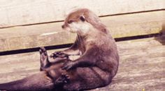 It's impossible not to let otters squirm into your heart. | 23 GIFs Of Otters That Will Make You Wish You Could Have One For A Pet
