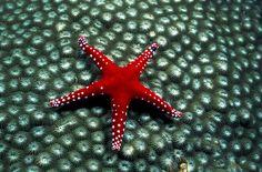 Estrella de mar en Papua Nueva Guinea