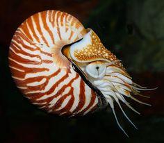 Nautilus vivo