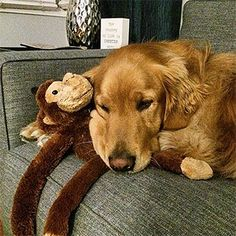 Sometimes are made for staying in. We're going to take a lesson in curling up on the sofa from Coby and his favorite named George. Thanks to for sharing! Cute Animals With Funny Captions, Cute Animals Images, Cute Animal Pictures, Cute Baby Animals, Animal Babies, Animal Pics, Fox Red Labrador, Search And Rescue Dogs, Good Morning Quotes