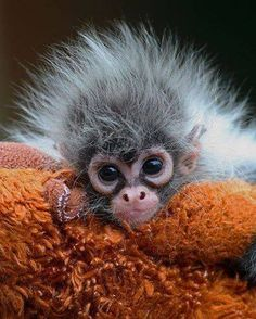 Estela, a hand-reared baby Spider Monkey