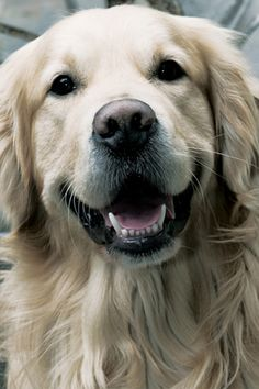 Golden Retriever. ..love this color ..