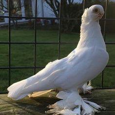 Pigeon, Ss, Birds, Animals, Animales, Animaux, Bird, Animal, Birdwatching
