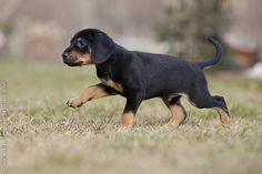 Austrian Black and Tan Hound.