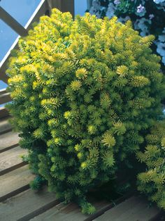 Sedum Angelina -- Bluestone Perennials