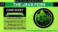 Best Betta Fish Plants- Java Fern