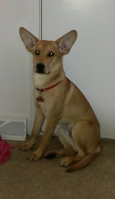 Buddy Boo - our Carolina (American Dingo) Lab Mix Puppy at almost 7 months! He's waiting patiently to go outside :) Lab Mix Puppies, Wild Dogs, 7 Months, Go Outside, Painted Rocks, North America, Native American, Ears, Corgi