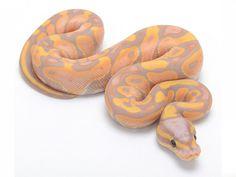 Banana Ktulu ball python