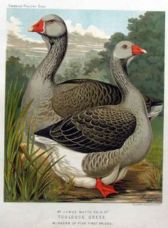 Domesticated Toulouse Goose - excellent guard animal and very loyal