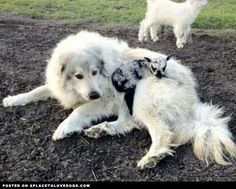 Great Pyrenees Adopts Baby Lamb | Video • from APlaceToLoveDogs.com • dog dogs puppy puppies cute doggy doggies adorable funny fun silly photography