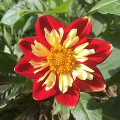 We were showing off Dahlias a little while ago? I know I'm late to the party and that it's not super fancy like a lot of them but finding this little dude in the backyard today really cheered me up. #gardening #garden #gardens #DIY #landscaping #home #horticulture #flowers #gardenchat #roses #nature