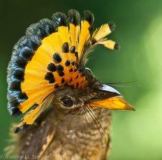 Amazonian Royal Flycatcher, Andrew M. Snider, via Flickr Pretty Birds, Beautiful Birds, Animals Beautiful, Cute Animals, Rare Birds, Birds 2, Exotic Birds, Colourful Birds, Tropical Birds