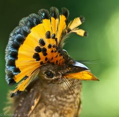 Amazonian Royal Flycatcher, Andrew M. Snider, via Flickr