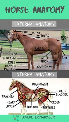horse facts -know your horse's anatomy Large Animal Vet, Horse Information, Horse Riding Tips, Trail Riding, Horse Care Tips, Horse Anatomy, Horse Facts, Horse Camp, Horse Training